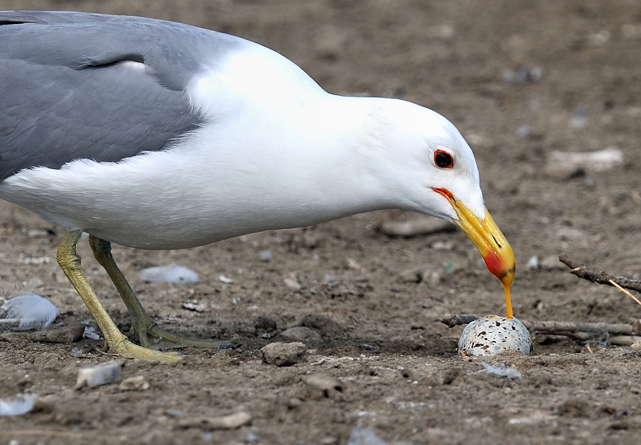 California gulls are voracious predators of waterbird eggs and chicks, this includes preying upon the nests of their neighbors.