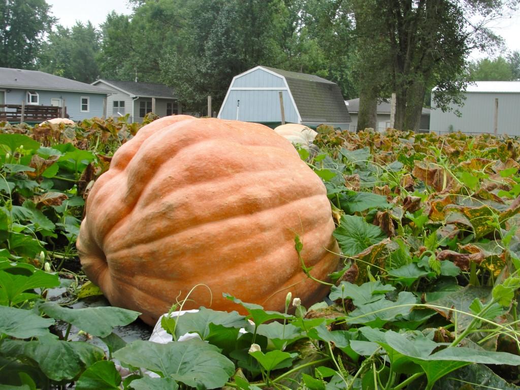 55fd91532a1 Posts Tagged 'giant pumpkins'