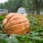 A giant pumpkin grows in Don Young