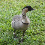 A Hawaiian nene. Credit: Julia Scott
